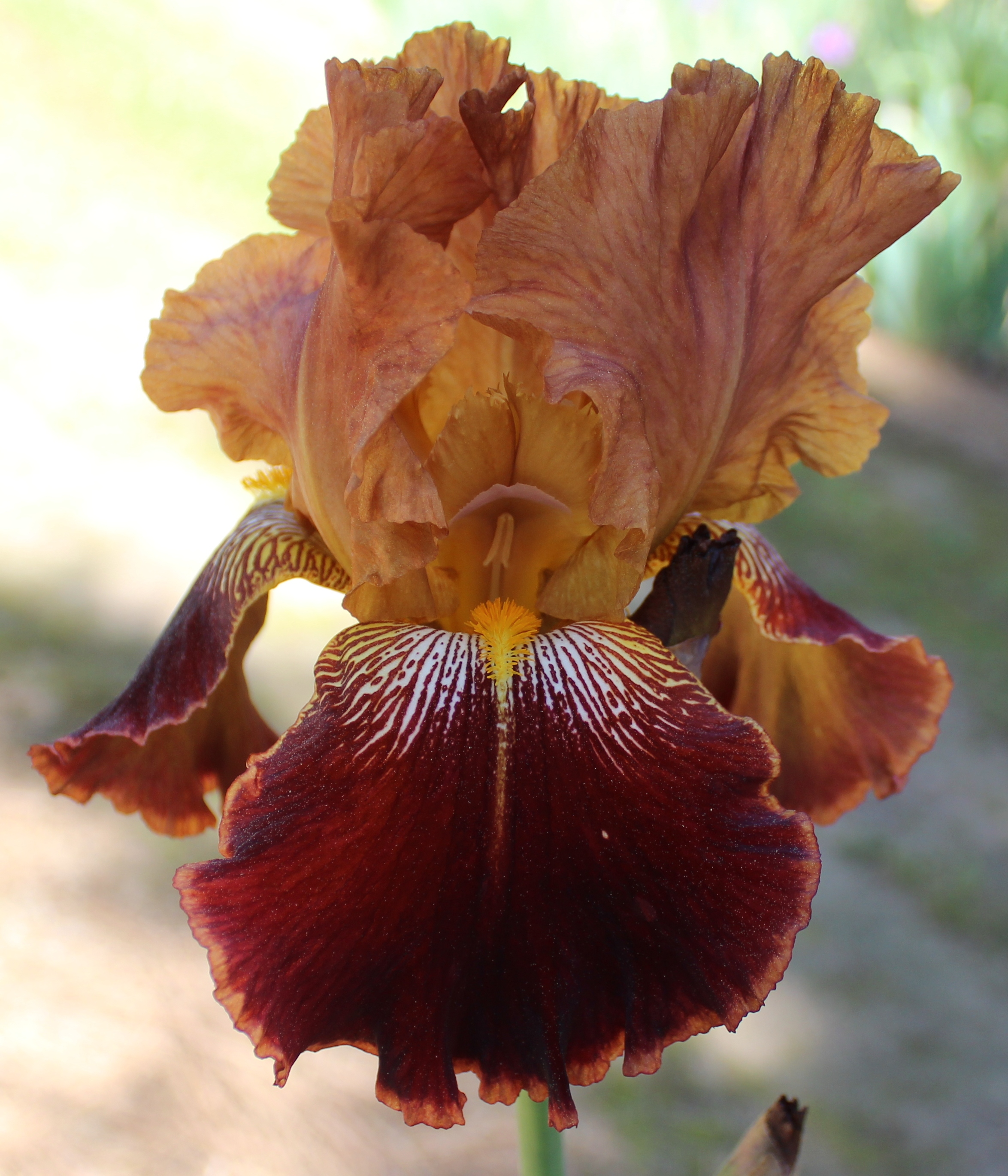 Iris with deep red throat