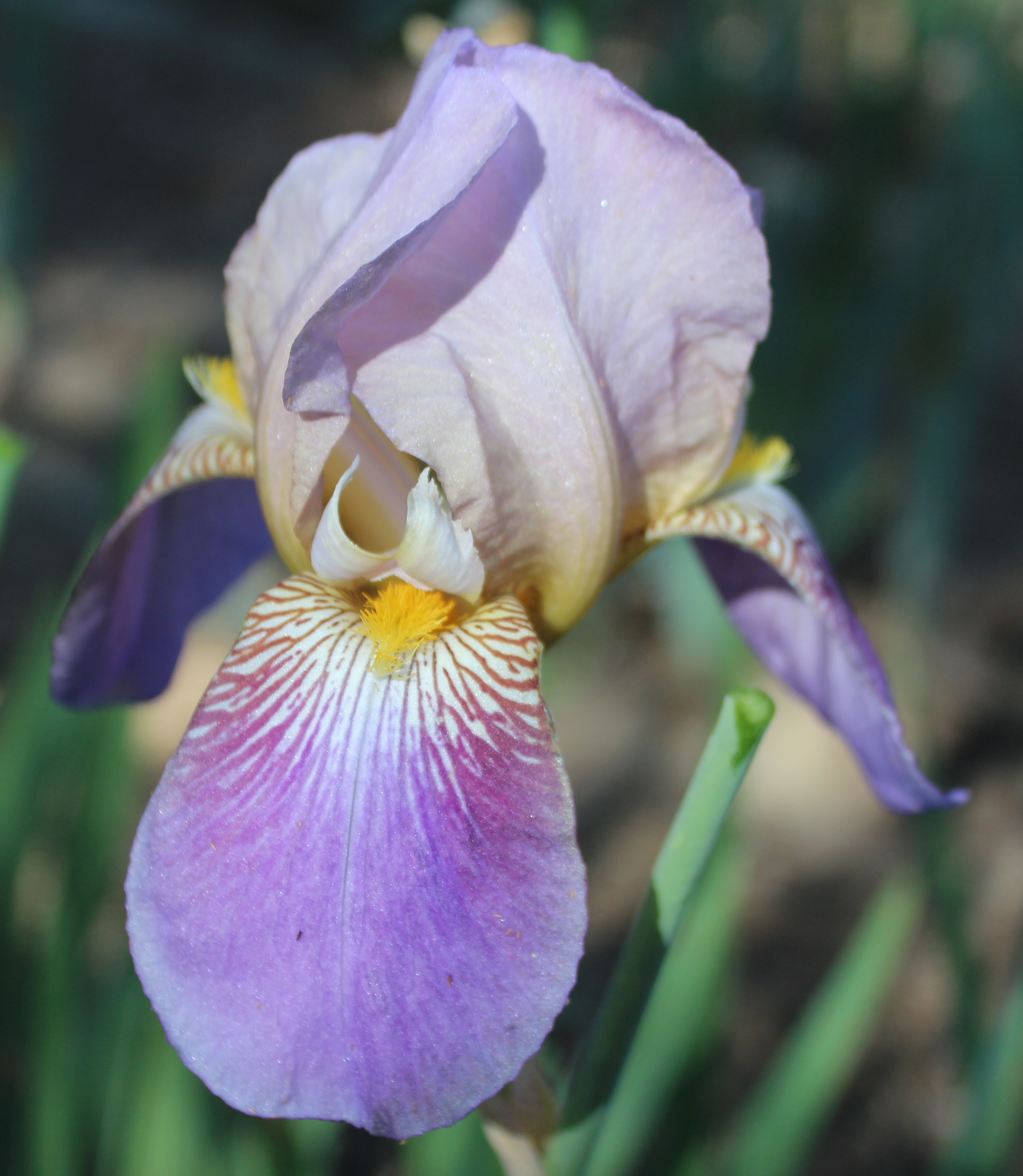 Plantfiles Picturestall Bearded Iris Indian Chief